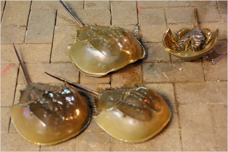 Horseshoe Crab