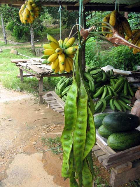 Pokok Petai dan khasiatnya