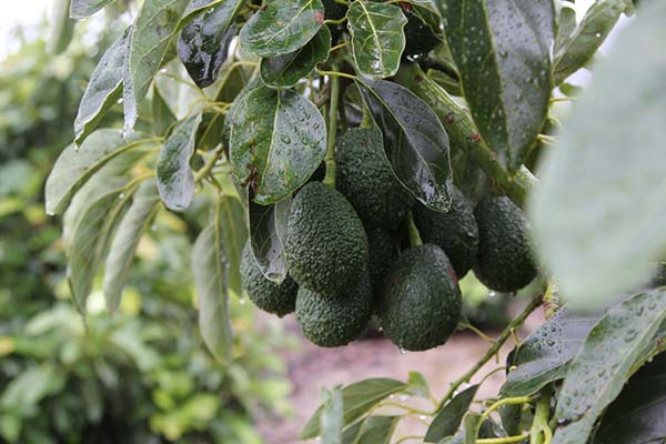Avocados on avocado tree.